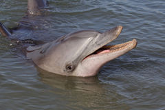 Wild bottle-nosed dolphin smiling, Australia Royalty Free Stock Photos