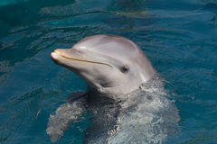 A wild bottlenose dolphin (Turisops Truncatus). Looking inquisitively out of the clear deep blue atlantic ocean royalty free stock images