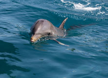 A wild bottlenose dolphin (Turisops Truncatus). Looking inquisitively out of the clear deep blue atlantic ocean Royalty Free Stock Photo