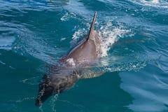 A wild bottlenose dolphin (Turisops Truncatus) Stock Images