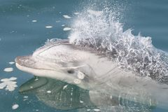 Wild bottlenose dolphin swimming alongside boat in Peru stock images