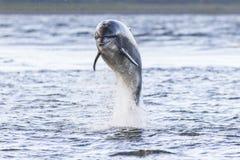 Wild bottlenose dolphin tursiops truncatus Stock Photography