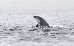 Wild bottlenose dolphins stock photo