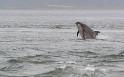Wild bottlenose dolphins royalty free stock photos