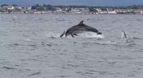 Wild bottlenose dolphins stock photography