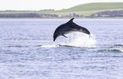 Wild bottlenose dolphin tursiops truncatus royalty free stock photos