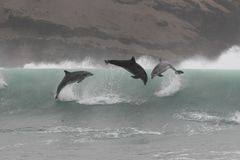Wild bottlenose dolphins jumping off the coast of Peru. Three wild bottlenose dolphins jumping in coastal waves off Peru Royalty Free Stock Images