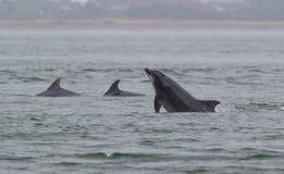 Wild bottlenose dolphins royalty free stock photo