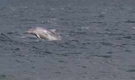 Wild bottlenose dolphins royalty free stock images