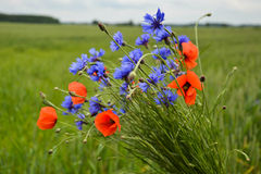 Wild bouquet. Beautiful cornflowers in field together with rye Royalty Free Stock Photo