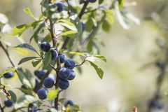 Wild branch of blue berries with green leaves. Composition royalty free stock images