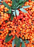 Wild branch of orange rowan berries with leaves. royalty free illustration
