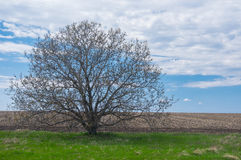 Wild branchy walnut tree against blue cloudy sky at early spring season in Ukraine Royalty Free Stock Photos
