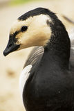 Wild   brant bird waterfowl Royalty Free Stock Photos