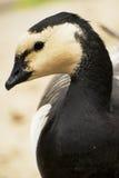 Wild   brant bird waterfowl. Portrait of wild brant bird waterfowl Royalty Free Stock Photos
