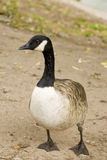 Wild   brant bird waterfowl Royalty Free Stock Photography