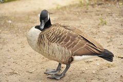 Wild   brant bird waterfowl Royalty Free Stock Photo