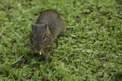 Wild Brazilian Baby Guinea Pig, Eating. This juvenile, wild guinea pig with brown (agouti) coloring in the green grass is pausing to chew on a blade of Royalty Free Stock Photography