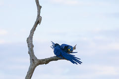 Wild Breeding Pair of Hyacinth Macaws Grooming on Dead Tree Royalty Free Stock Image