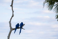 Wild Breeding Pair of Hyacinth Macaws Perching on Dead Tree Royalty Free Stock Photography