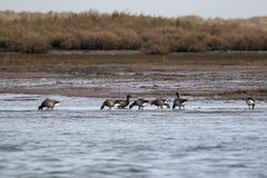 Wild Brent Geese. Branta bernicla stock photography