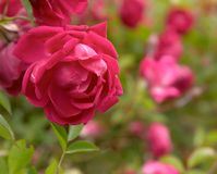 Wild brier rose ( rosa canina) Stock Photo