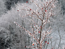 Wild Briers in Frost. Wild brier bush with red berries in frost Stock Image