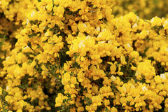 Wild broom. Gorse wild plant in bloom Stock Image