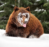 Wild brown bear Royalty Free Stock Images