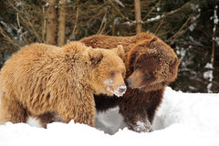 Wild brown bear Royalty Free Stock Photography