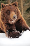 Wild brown bear Stock Photos