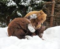 Wild brown bear Royalty Free Stock Photo