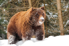 Wild brown bear Royalty Free Stock Photo