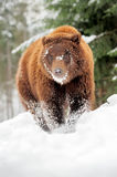 Wild brown bear Stock Image