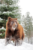 Wild brown bear Stock Photos