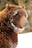 Wild brown bear Royalty Free Stock Image