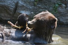 Wet brown bear bathing in the wild Stock Image