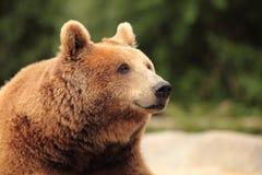 Wild brown bear Royalty Free Stock Photos