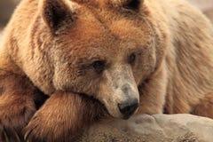 Wild brown bear Stock Photography