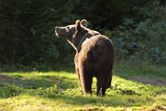 Wild brown bear in the carpathians Royalty Free Stock Image