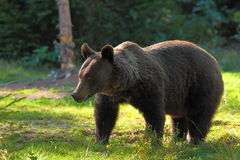 Wild brown bear in clearing Royalty Free Stock Image
