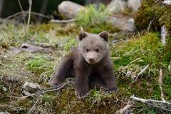 Brown bear cub royalty free stock photo