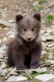 Brown bear cub stock photos