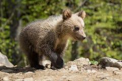 Wild brown bear cub closeup Royalty Free Stock Photos