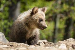 Wild brown bear cub closeup Royalty Free Stock Photography