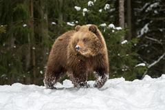 Wild brown bear cub closeup. In winter forest Royalty Free Stock Photography