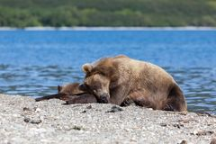 Wild brown bear grizzly bear basks in the sun with a cute little bear cub on the lake. Kuril lake