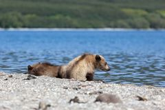 Wild brown bear grizzly cubs are on the lake