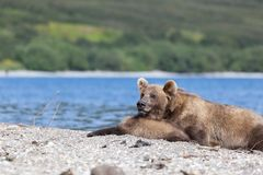 Wild brown bear grizzly with a cute little bear cubs lying on Kuril lake. Russia. Kamchatka