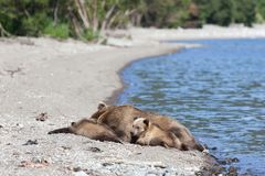 Wild brown bear grizzly with a cute little bears cubs are on the lake stock image